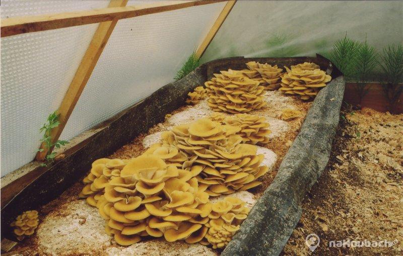 Как из мицелий вырастить грибы в домашних условиях